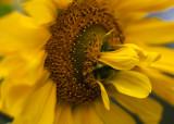Strange Sunflower