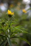Little Yellow Sunflower from Below #2