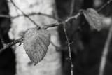 Early Last Birch Leaves Monochrome