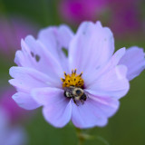 Bee on Cosmo, Evening