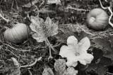 Pumpkin Blossom with Pumpkin Pair