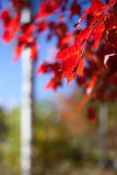 Red Leaves by Birch