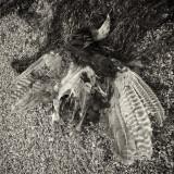 Turkey Carcass on the Beach
