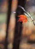 Last Orange Maple Leaf