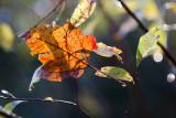 Backlit Fallen Leaf in Bush