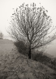 Tree by Morgan Bay in Fog
