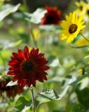 Backlit Red-Orange Sunflower