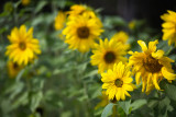 Yellow Sunflower Conga Line