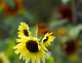 Pale Yellow Sunflower Trio