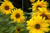 Vee of Yellow Sunflowers