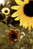 Stylized Sunflowers #3