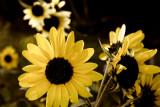 Stylized Sunflowers #4