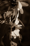 Shy Sunflower Dance