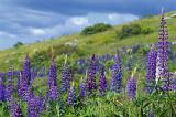 Lupines on Hillside
