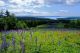 Lupines and Yellow Hawkweed Over Blue Hill Bay