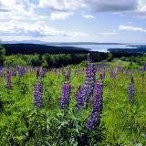 Lupines over Blue Hill Bay