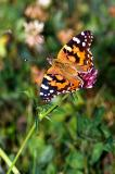 Painted Lady on Clover