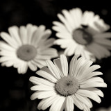 Daisy Trio