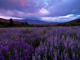 Onion Valley Lupine