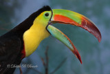Keel-billed Toucan 05