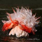 Chilean Flamingo 10