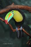 Keel-billed Toucan 07