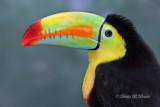 Keel-billed Toucan 08