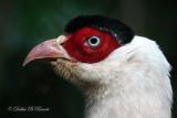 White- eared Pheasant