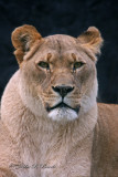 African Lioness 02