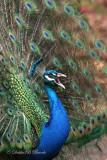 Peacock 03