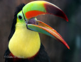 Keel-billed Toucan 11