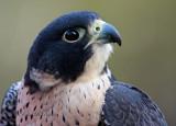 Peregrine Falcon 02