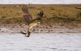 Osprey and the grebe(eared)