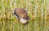 ospreytrout.jpg