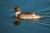 Mr red breasted merganser