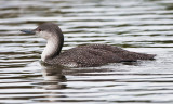 red-necked-loon.jpg