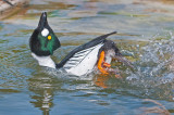 common goldeneye - courting routine