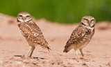 burrowing owls - salton sea