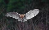 barn owl - iso 6400