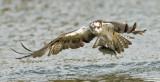 ospreytrout1.jpg