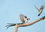 Whydah courting