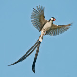 Whydah courting display