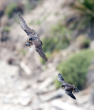 peregrine-and--fledge.jpg