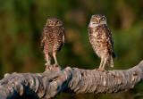 burrowing owls = salton sea