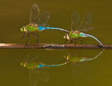 blue eyed darner laying eggs