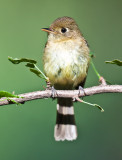 Pacific slope flycatcher (I think)