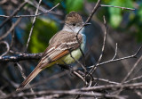 Ash- throated flycatcher