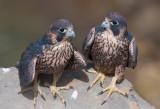 fledges.jpg