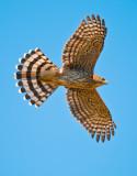 cooper's hawk juve