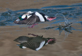 bufflehead - Off to the races